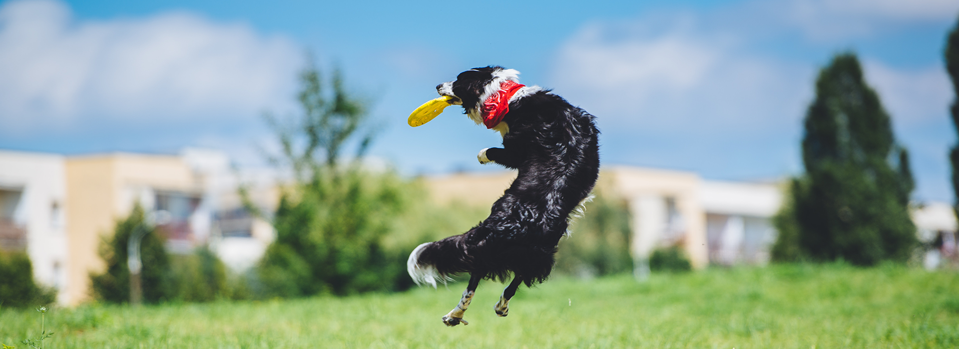 a dog jumping into the air to catch a frisbee