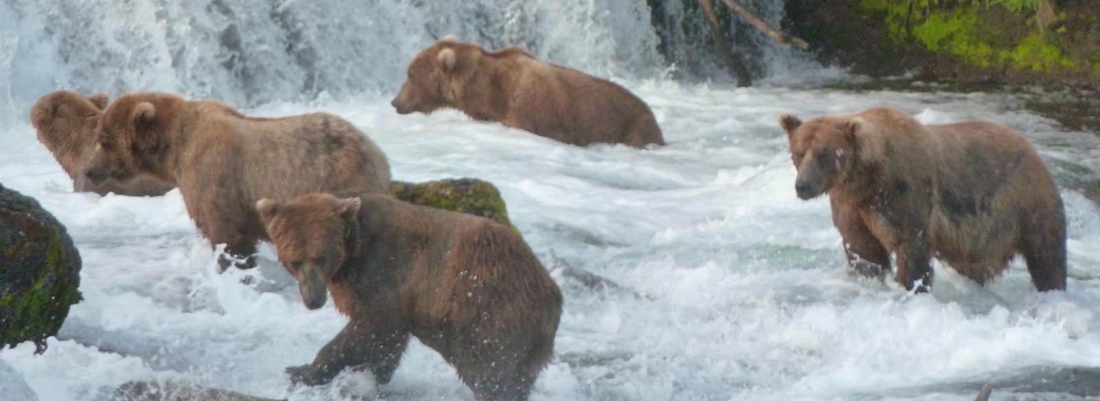 groupe d'ours bruns marchant dans la rivière