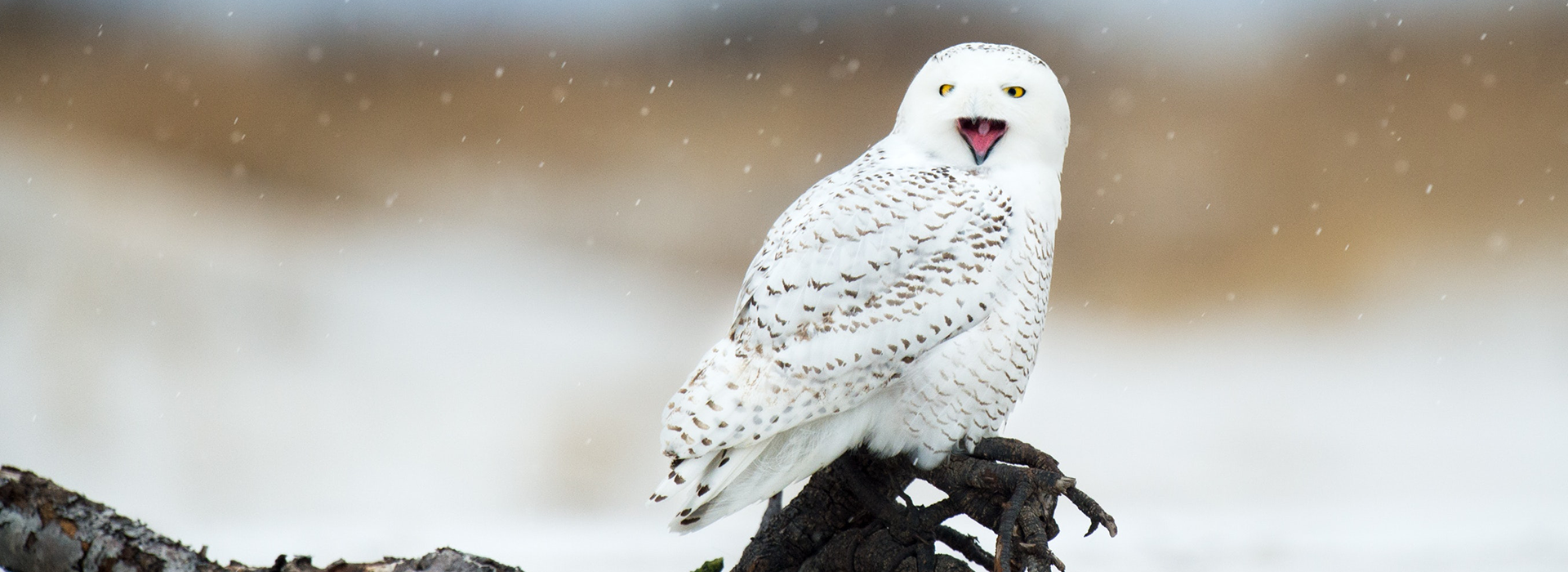 snowy owl perched on a frozen branch