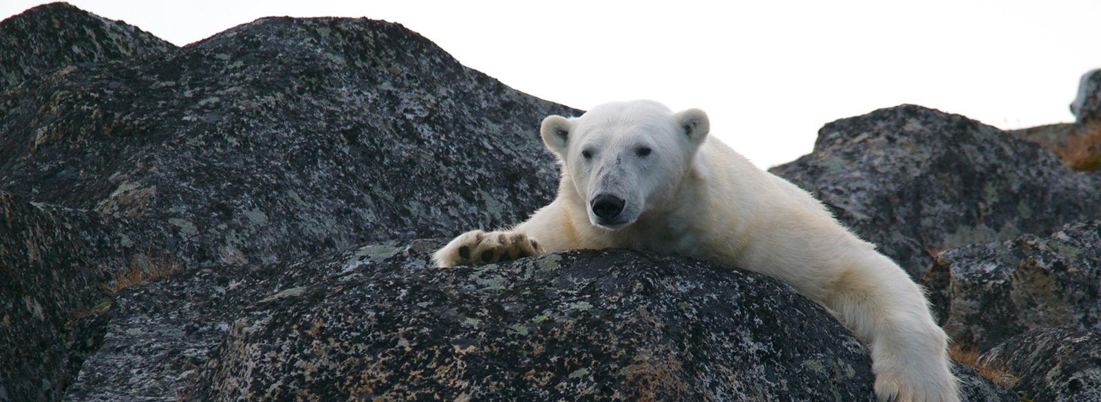 Un ours polaire étant assis sur un rocher