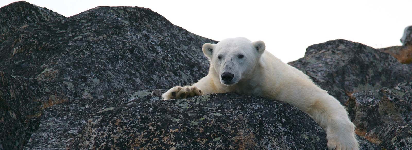 a polar bear sitting on a rock